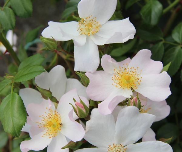 Bodendeckerrose: Apfelblüte