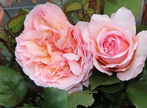 edelrosen von ihrem rosen g rtner vaihingen bei stuttgart. Black Bedroom Furniture Sets. Home Design Ideas