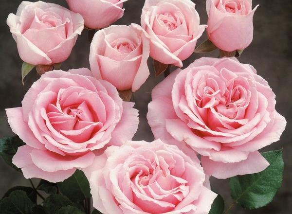 Duftrosen und weitere spezielle Rosenarten bei Stuttgart