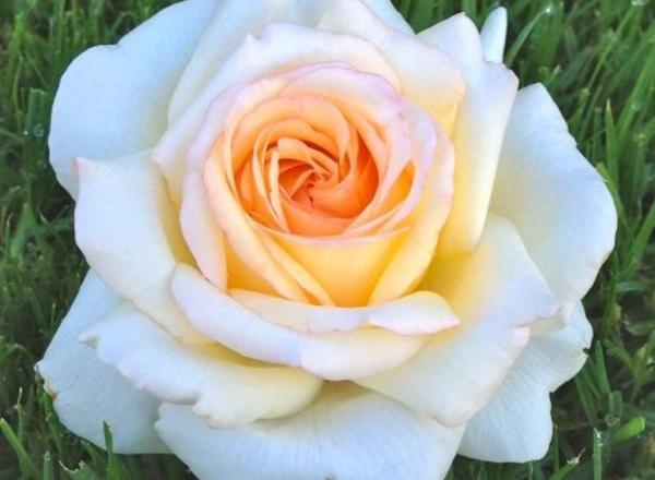 adr rosen tolle neue rosenz chtungen nahe stuttgart. Black Bedroom Furniture Sets. Home Design Ideas