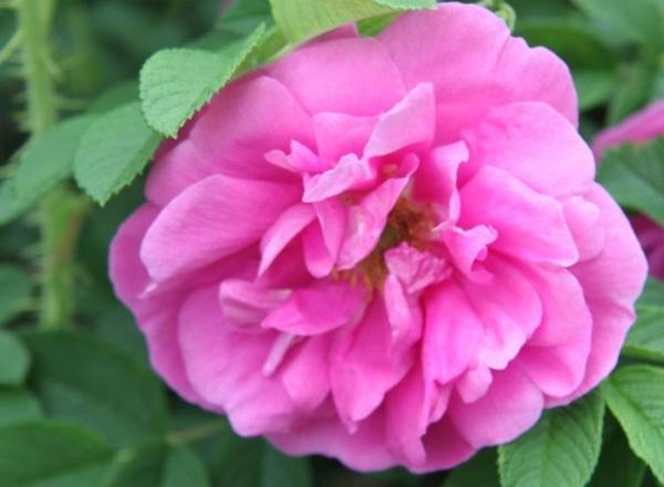 Rosa rugosa Pierette