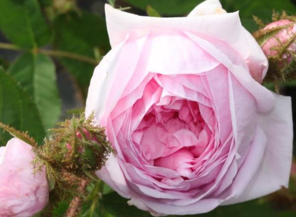 Rosa cent muscosa