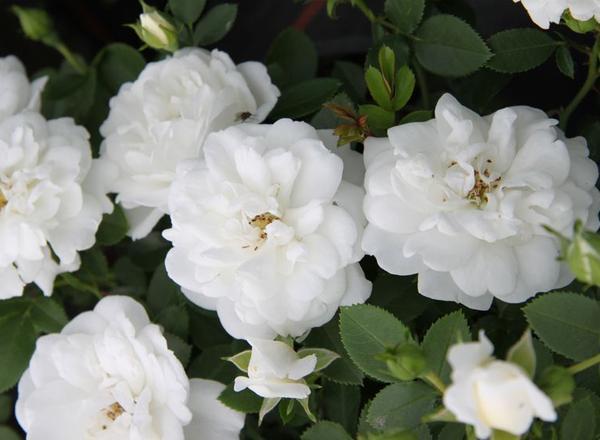 white-Babyflor-1