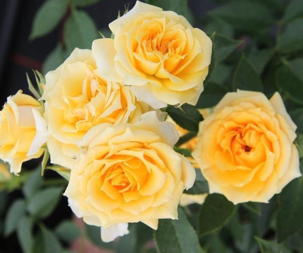 Zwergrose: Yellow Clementine