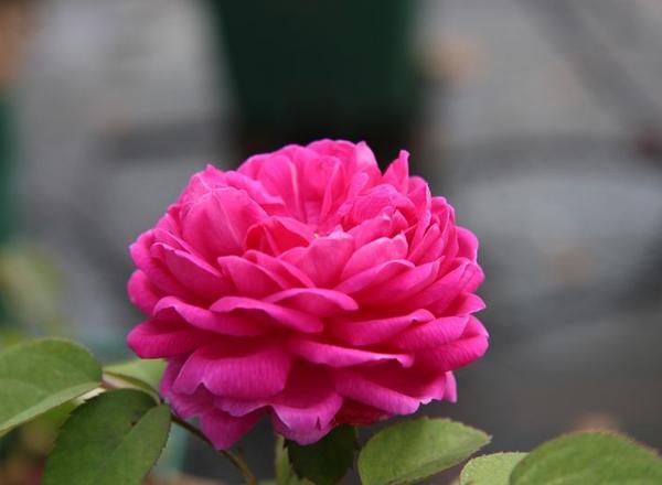 Rose-de-Resht