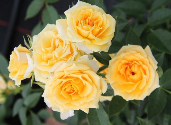 yellow-Clementine-1